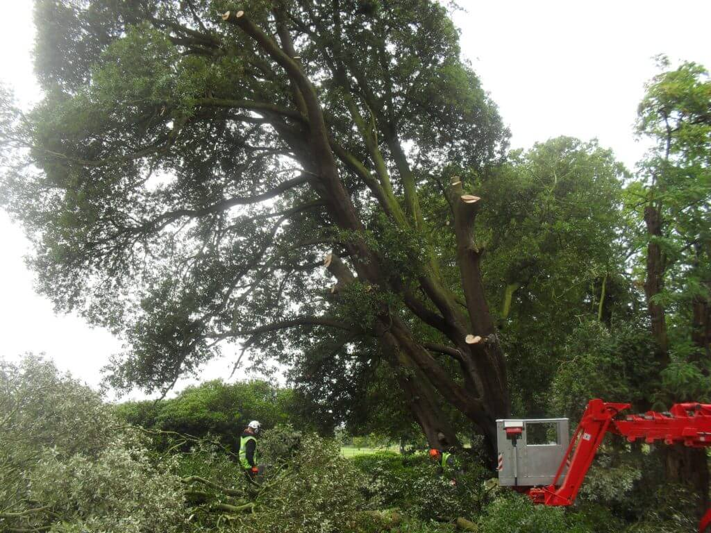 tree surgery raising the lower branches Cork