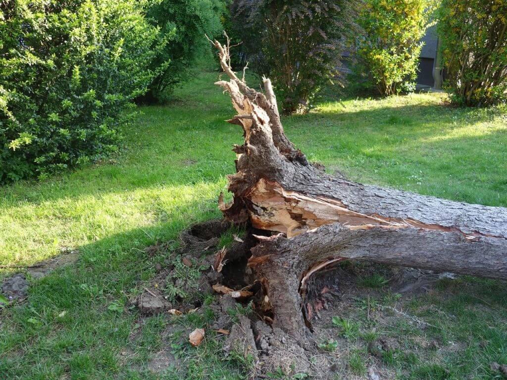 broken damaged tree requiring immediate removal