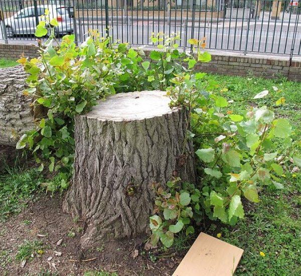 large tree stump on public property